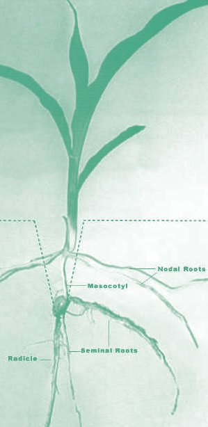 nodal root system